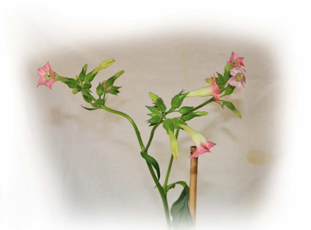 https://www.tilbudet.se/Bilder/Alida-blomma.JPG