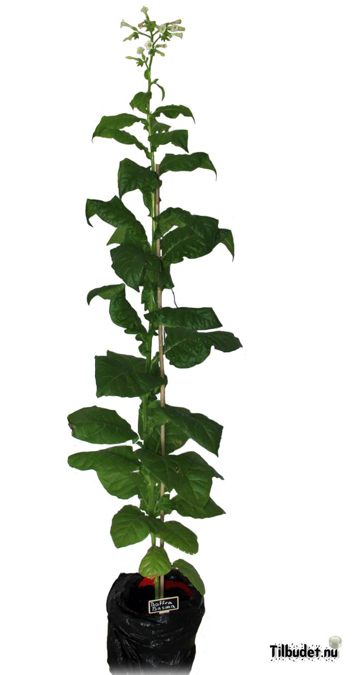 Tobaksfrö Baffra Basma SUC101