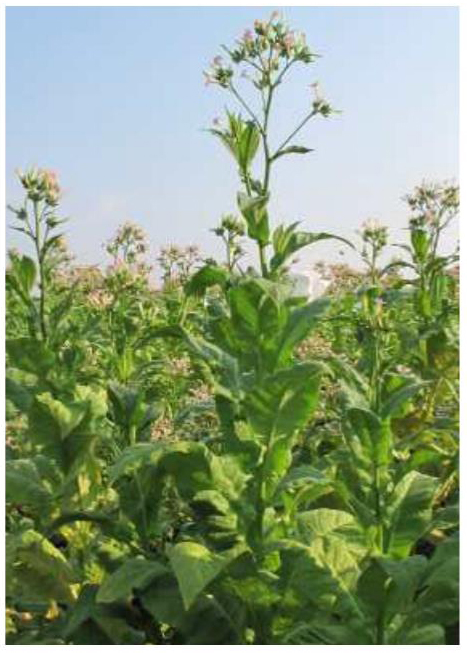 Tobaksfrö Hybrid Christine Flue Cured