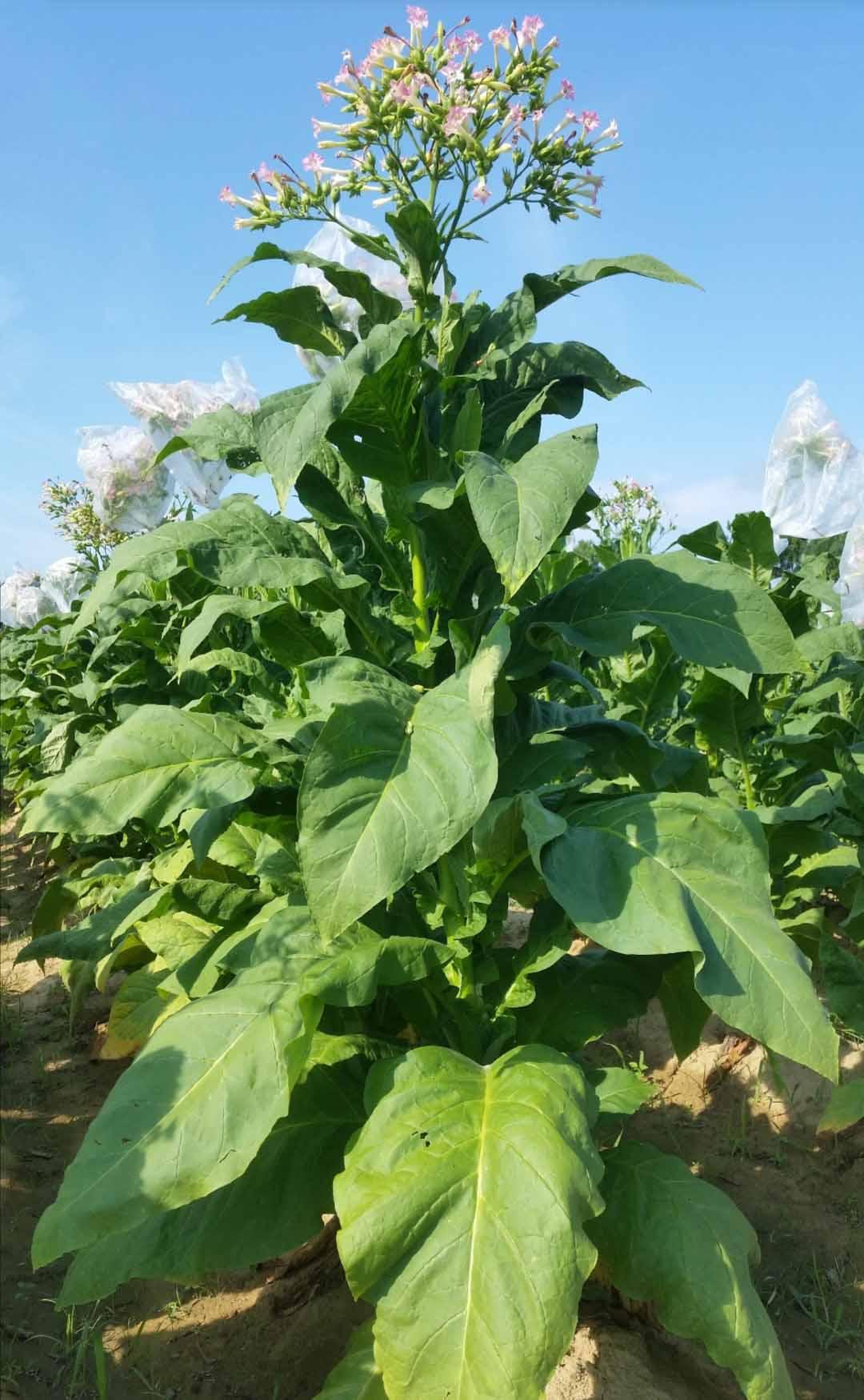Tobaksfrö Coker #140 FCV106 Virginiatyp