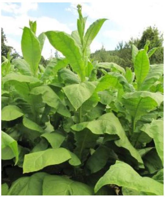 Tobaksfrö Hybrid GoltaCR Flue Cured
