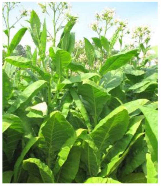 Tobaksfrö Hybrid HYB 26 Burley