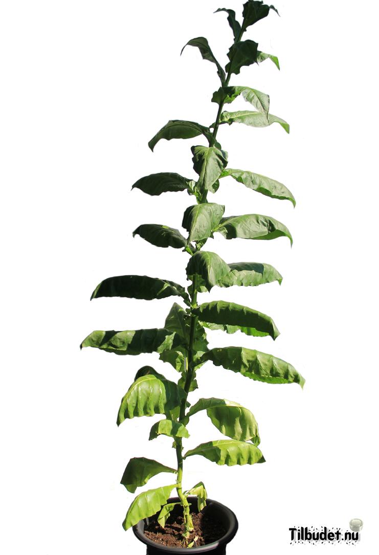 Tobaksfrö Hybrid Havanna deep red flowering DAC071