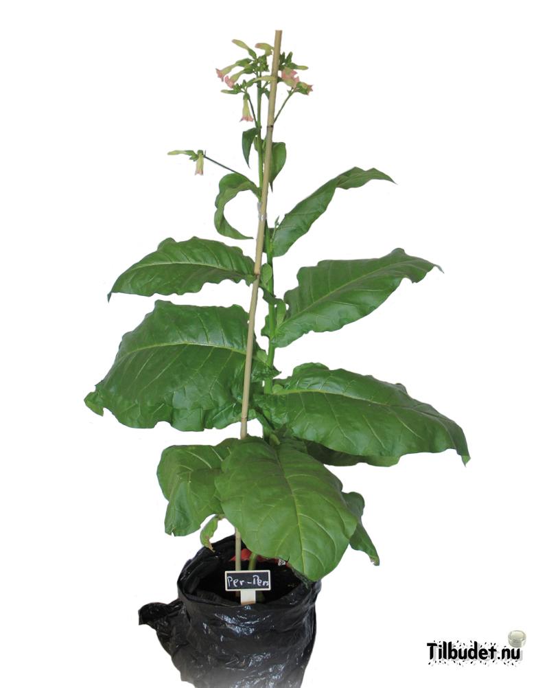 Tobaksfrö Per-Pers DAC211