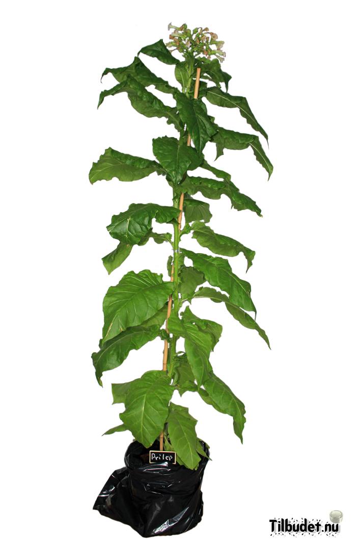Tobaksfrö Prilep SUC152