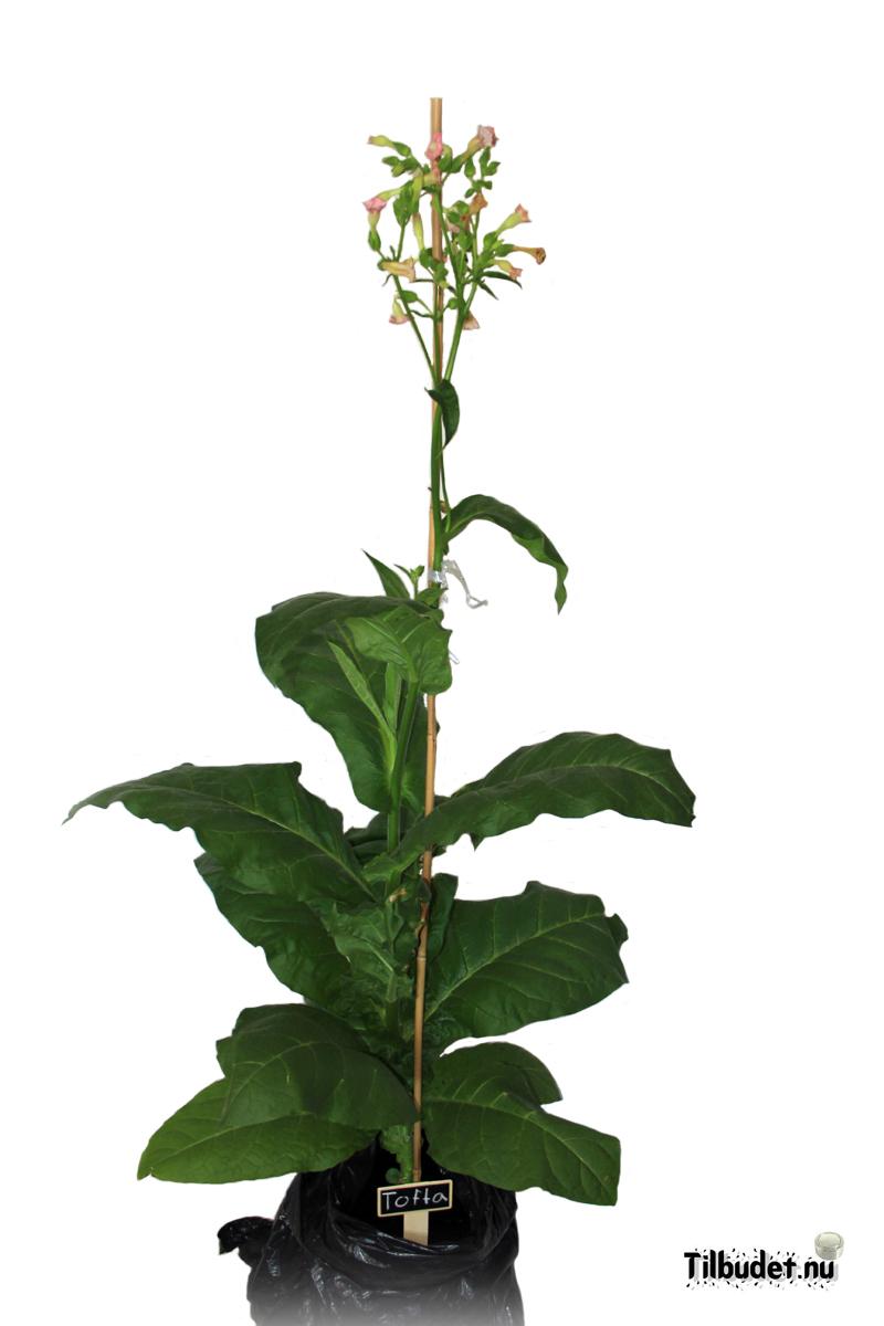 Tobaksfrö Tofta DAC217