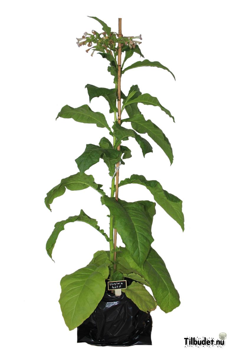 Tobaksfrö Virginia Gold FCV087